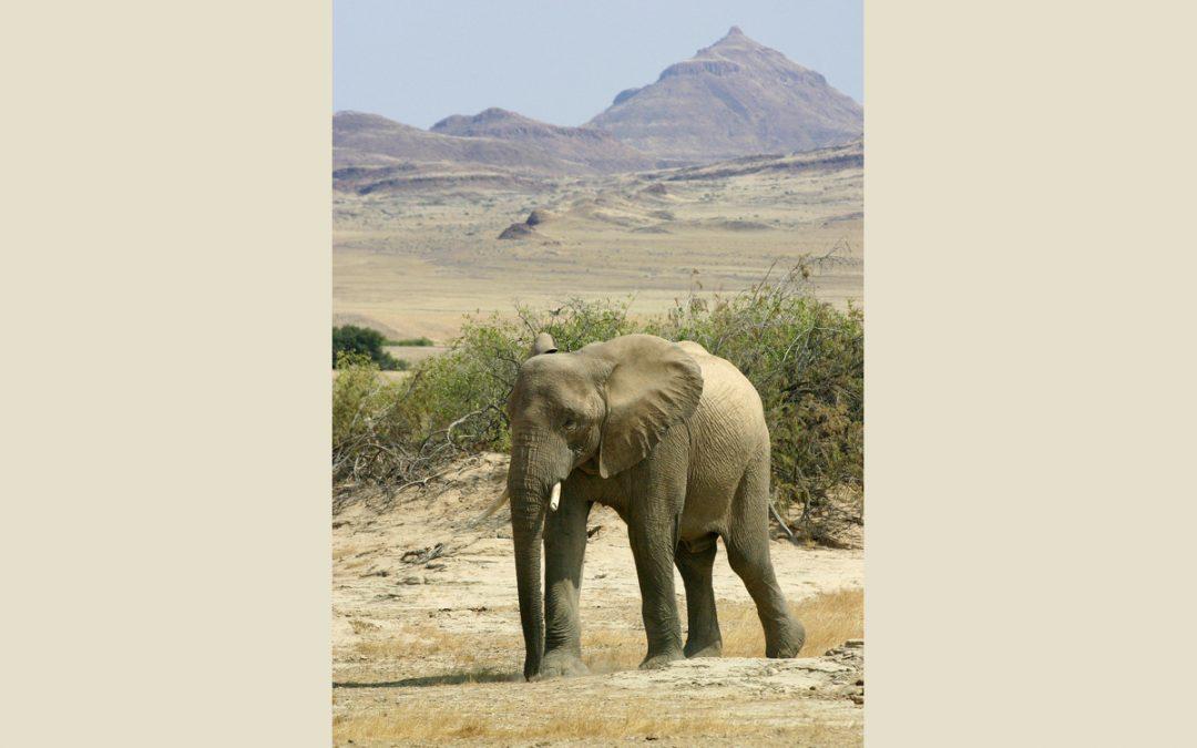 "Elephant more ""valuable"" than a human?"