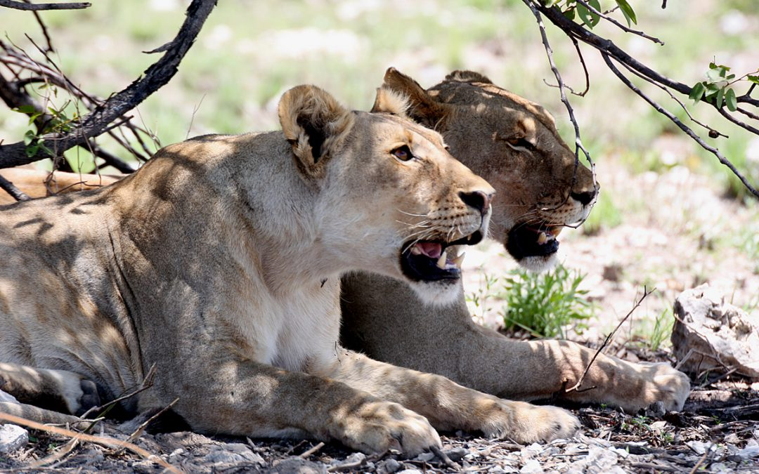 Hot debate about lions in the Erongo mountains