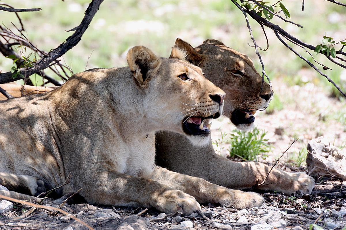 Female lions in Etosha