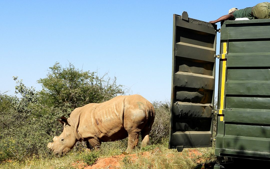 Rhino population receives new member