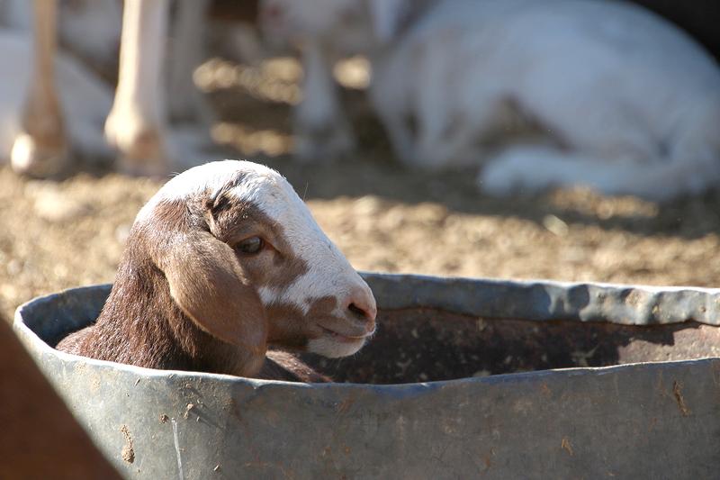 Lamb Sheep breeding Farm business BüllsPort Naukluft